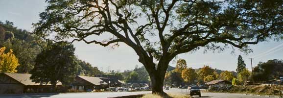 coarsegoldtree